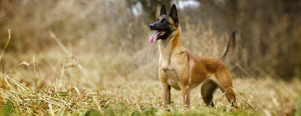 Train My Malinois
