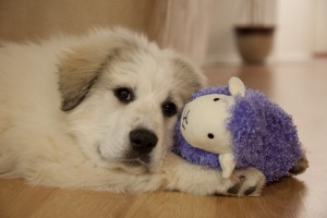 Puppy Great Pyrenees