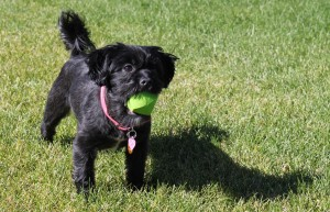 Picture of Shorkie Tzu or Shih Tzu Yorkie
