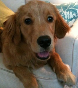 Austin Dog Training Golden Retriever Just Wants To Be A