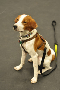Therapy Dog Training Austin and San Antonio