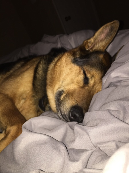 San Antonio Dog Training German Shepherd Mix Sleeping
