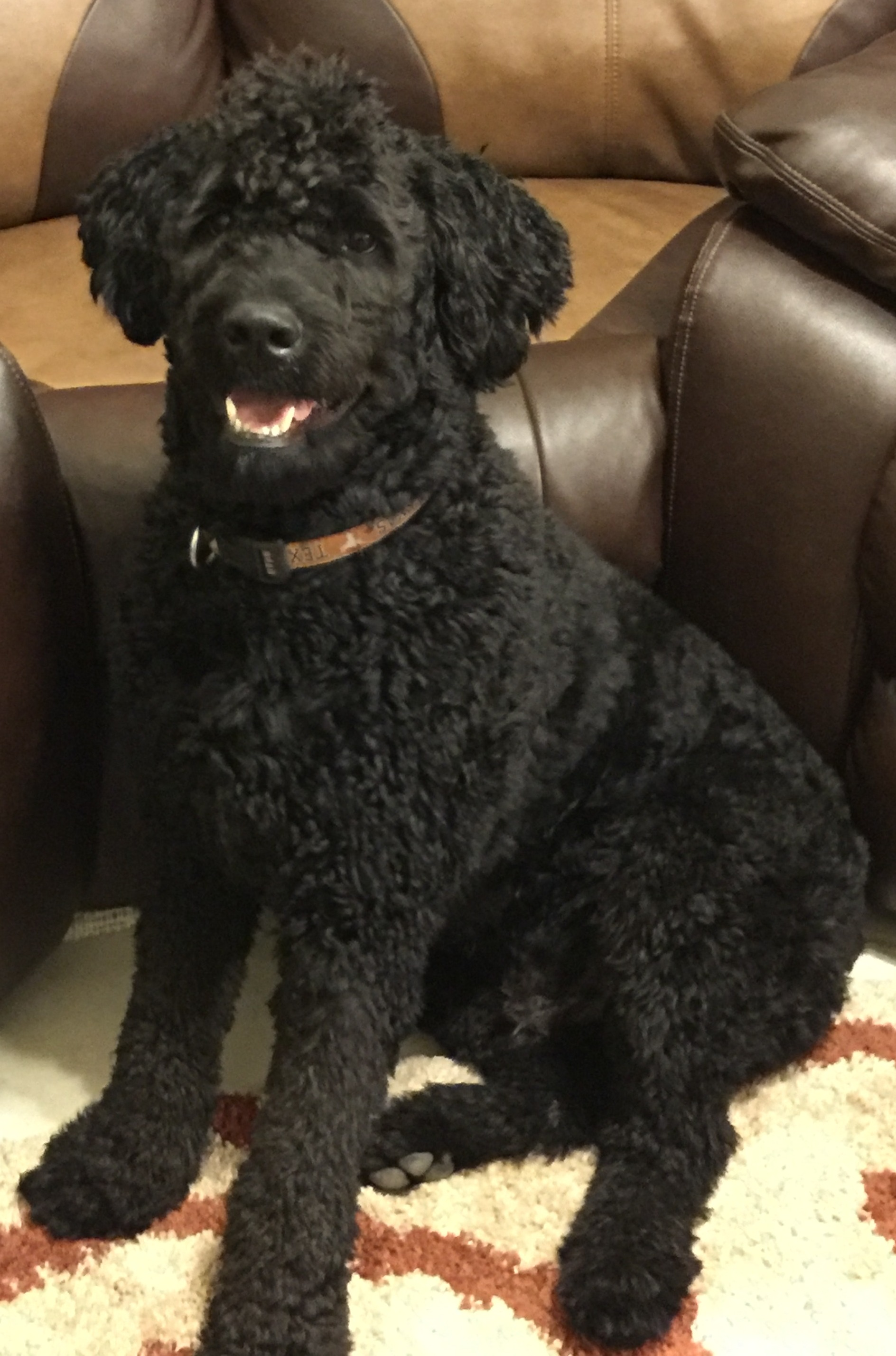 Rottweiler Standard Poodle Mix What A Goofy Boy