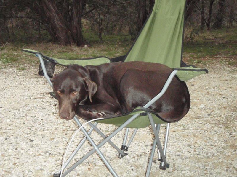 Chocolate Lab Puppies For Sale In Austin Texas