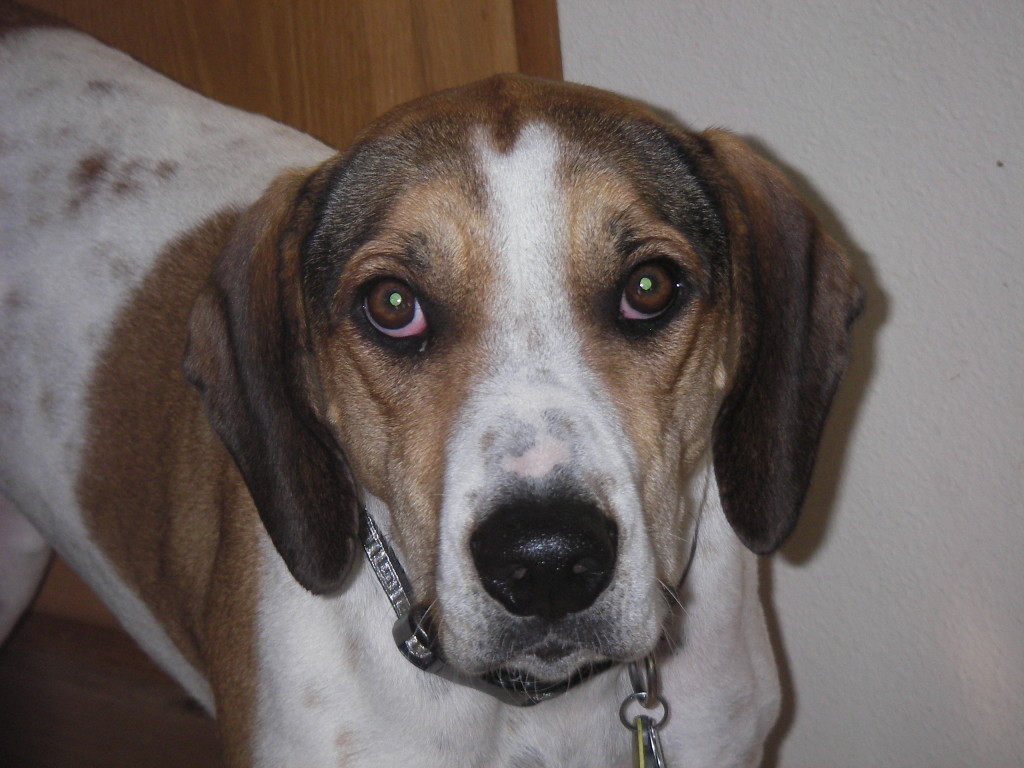 The adorable coon hound , Presley, who can melt your heart with those eyes.