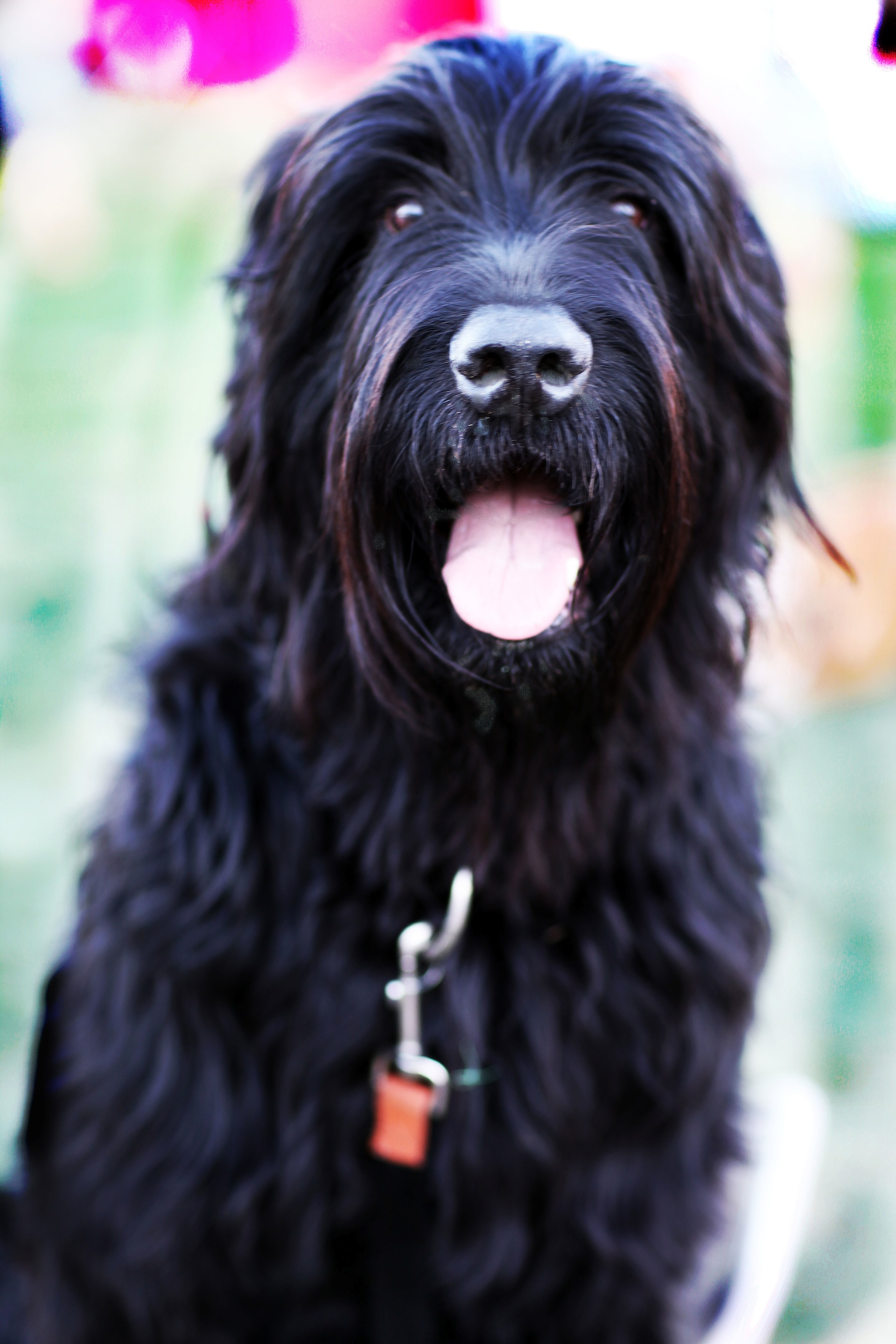 Houston Dog Training Black Russian Terrier Sit Means Sit