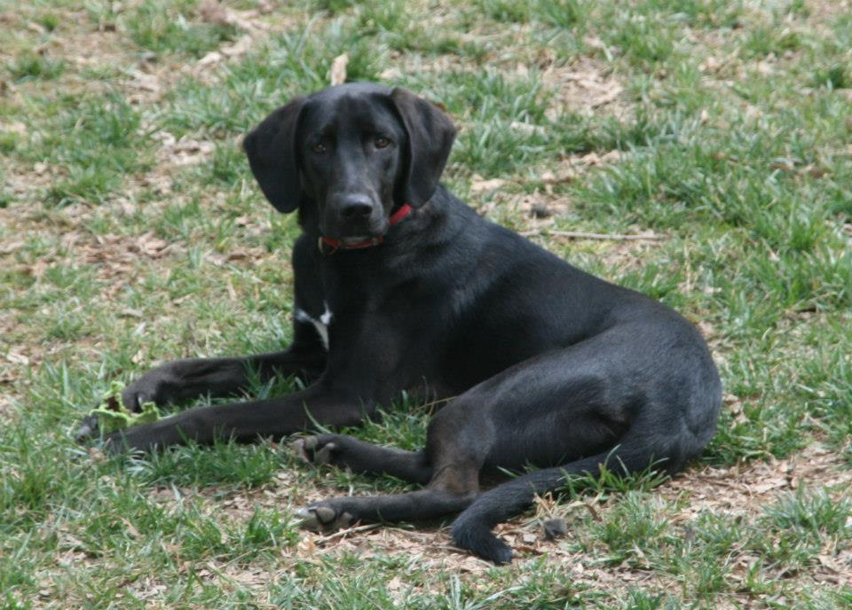 Jasper – lab beagle mix