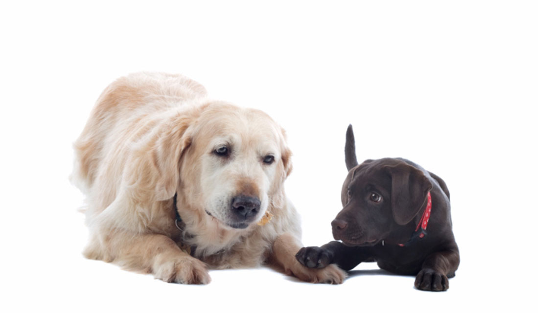 When To Get A New Puppy With Older Dog