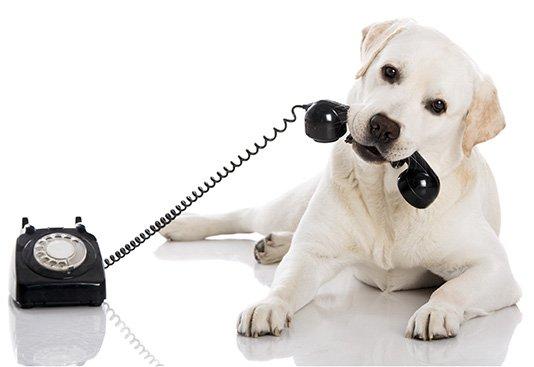 Labrador making a phone call.
