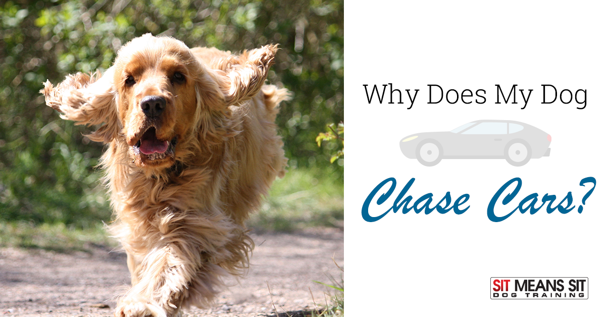 why does my dog chase cars
